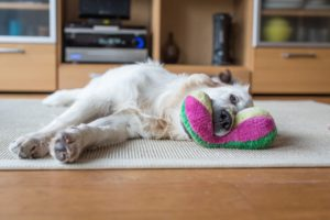 Dog laying down and playing with toy