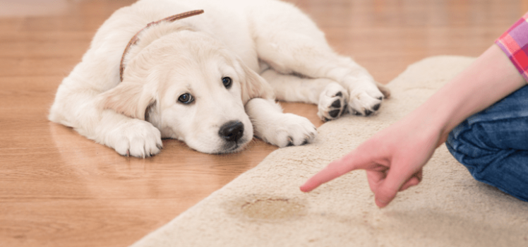 How To Stop Dog Peeing On Rug