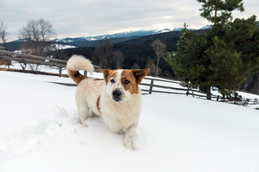 Protect your dog from frostbite and hypothermia in winter