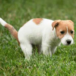 A dog that's constipated often strains, cries, hunches over awkwardly, or seems generally uncomfortable when he's trying to have a bowel movement.