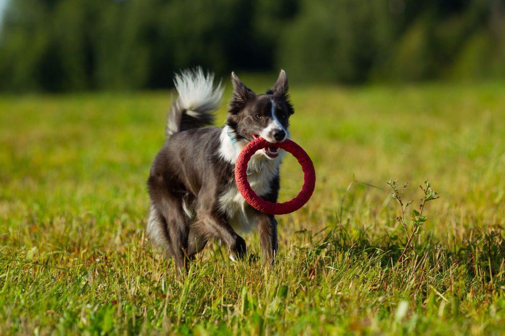 Border Collie | 12 Healthiest Dog Breeds