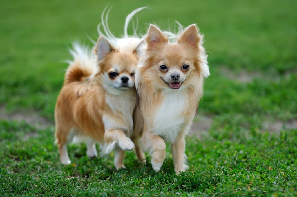 Chihuahua | 12 Healthiest Dog Breeds