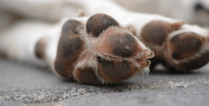 How to Treat a Dog Paw Pad Injury