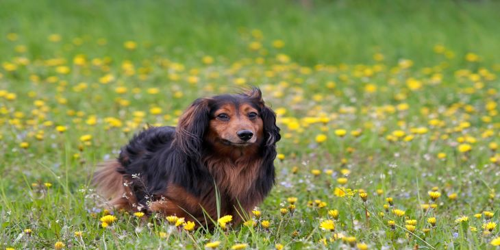 Long-Haired Dachshund -10 Things To Know