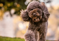 12+ Most Obedient Small Dog Breeds